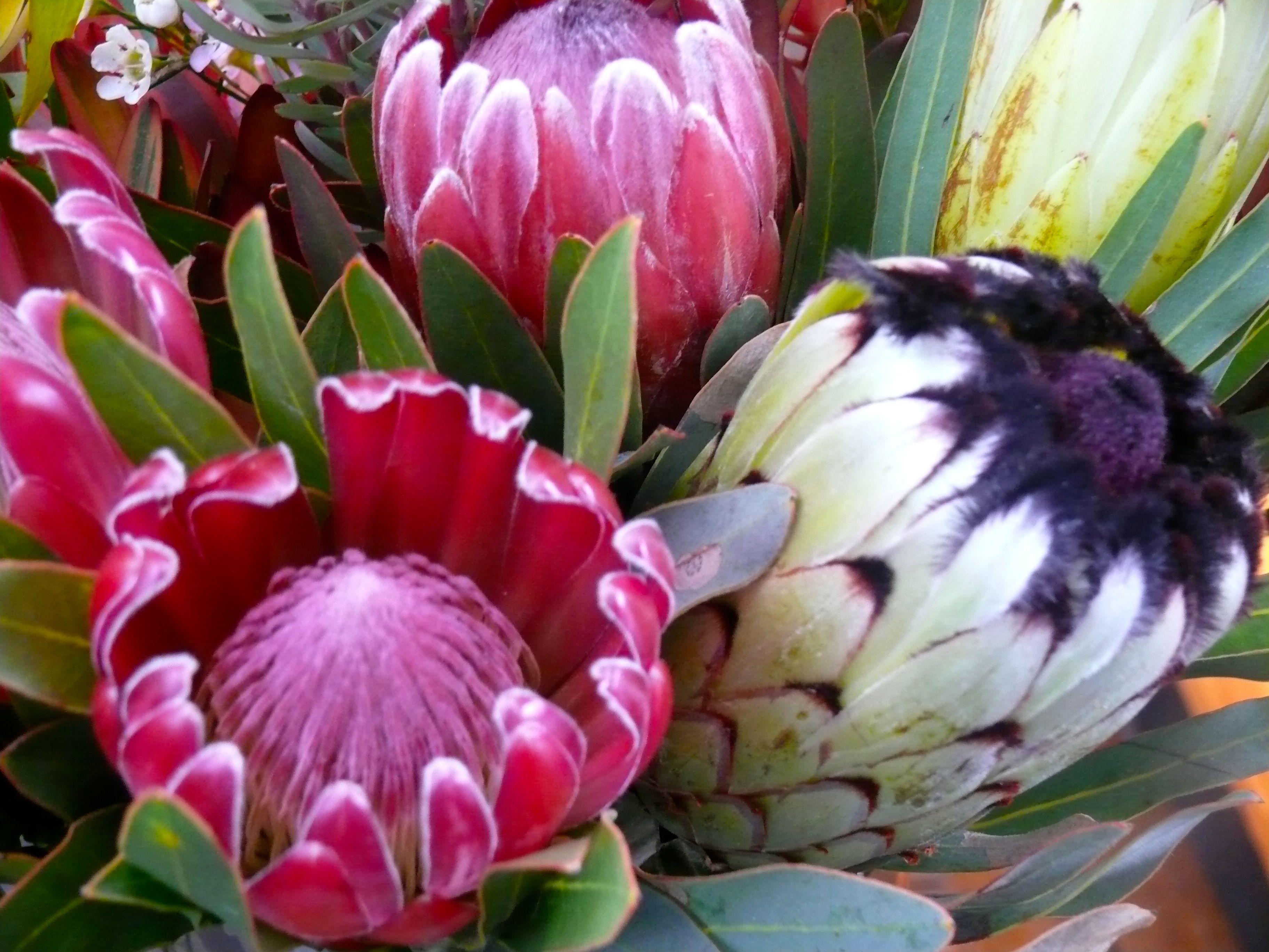 South Africa S National Flower Repinned By Www Loisjoyhofmann Com Love Proteas Protea Flower Beautiful Flowers Flora Flowers