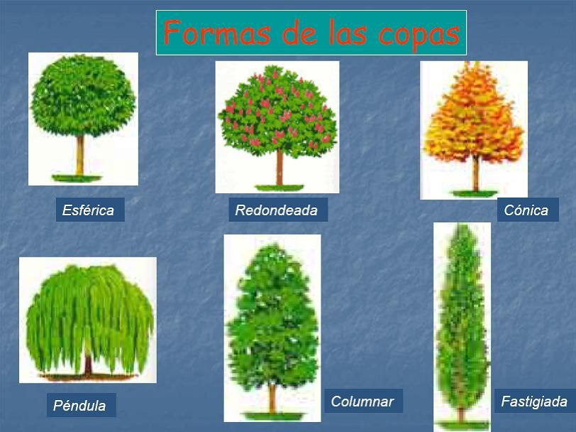 Documents and settingsforestal1escritorionueva carpeta for Tipos de pinos para jardin
