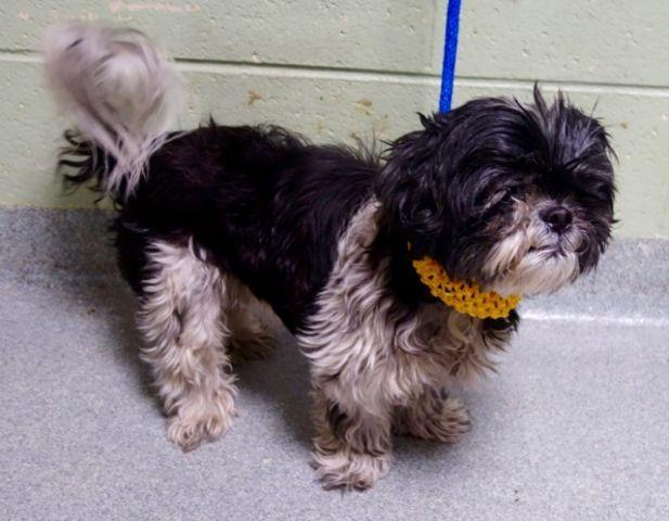 Super Urgent 10 29 16 Sebastian A1095064 Neutered Male Black White Shih Tzu Mix 8 Yrs Stray Animal Shelter Dog Adoption Pet Adoption