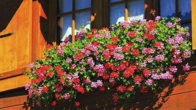 gr ner daumen geranien bl tenreiche balkonpflanzen flowers and gardens. Black Bedroom Furniture Sets. Home Design Ideas