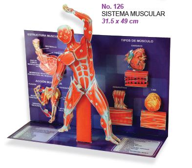 Maqueta Sistema Muscular | Pinterest | Sistema muscular, Maquetas y ...