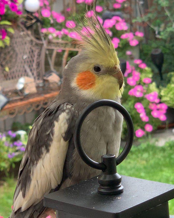 "Flappy and Penita on Instagram: ""Hello 👋 beautiful people!❤️🥰😘🥰❤️#weareflappyandpenita #amazingplaces #happyday #parrotslife #parrotslover #parrotsofinstagram #parrotslove…"""