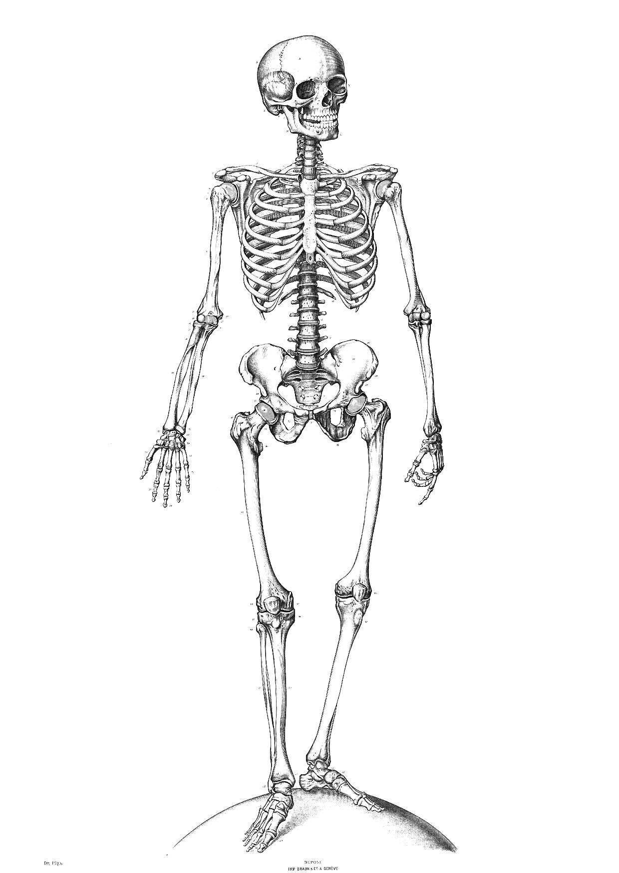 It is a picture of Mesmerizing Printable Human Skeleton