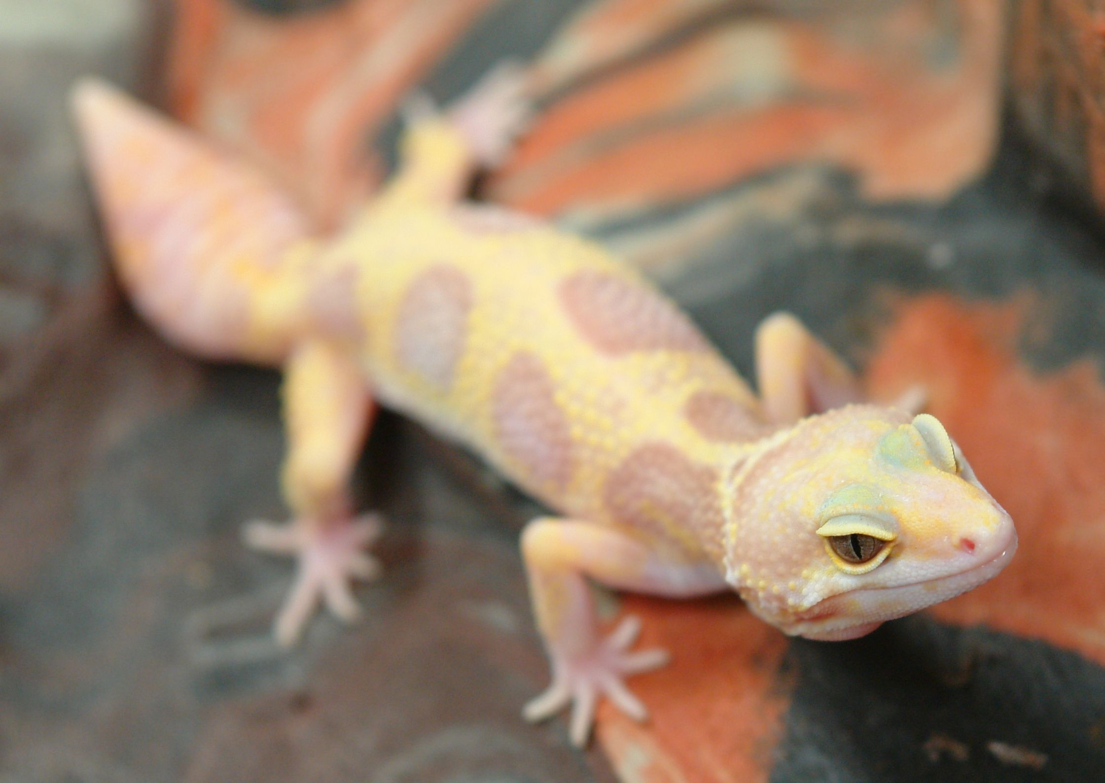 jungle albino leopard gecko reptile images pinterest. Black Bedroom Furniture Sets. Home Design Ideas