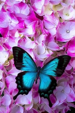 Blue Butterfly On Pink Hydrangea Photograph by chs79