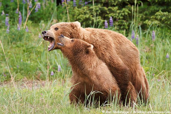 Photos Of Grizzly Bears Mating Bear Photos Bear Pictures Brown Bear