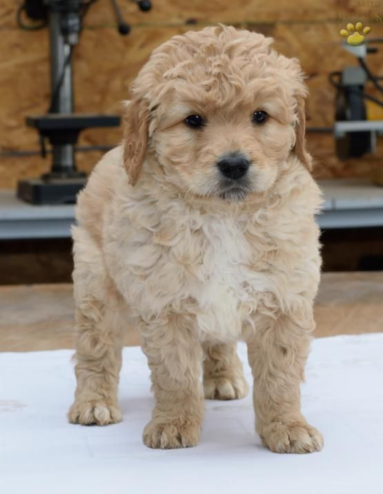 Charlie Goldendoodle Puppy For Sale In Fredericksburg Oh