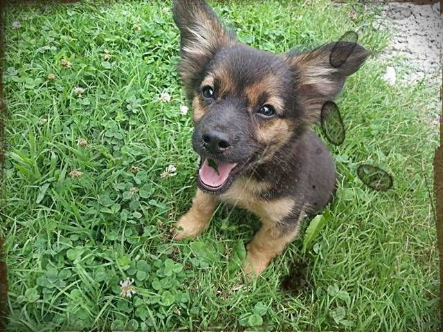 Chihuahua German Shepherd Mix Puppies With Images German
