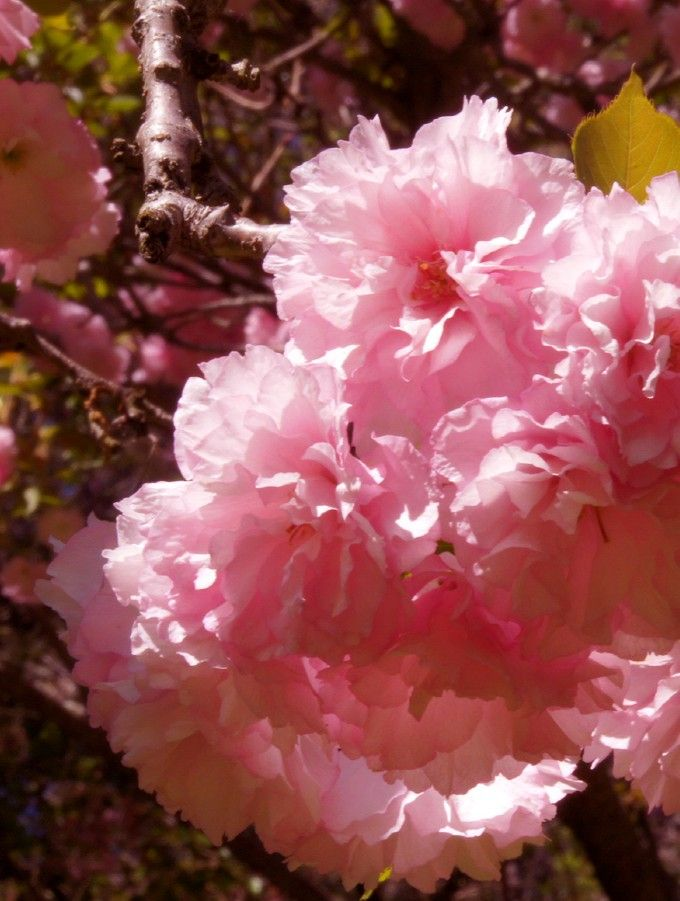 Pink Flowering Tree Photo By Photographer Diane Hooper Pink Flowering Trees Flowering Trees Tree Identification