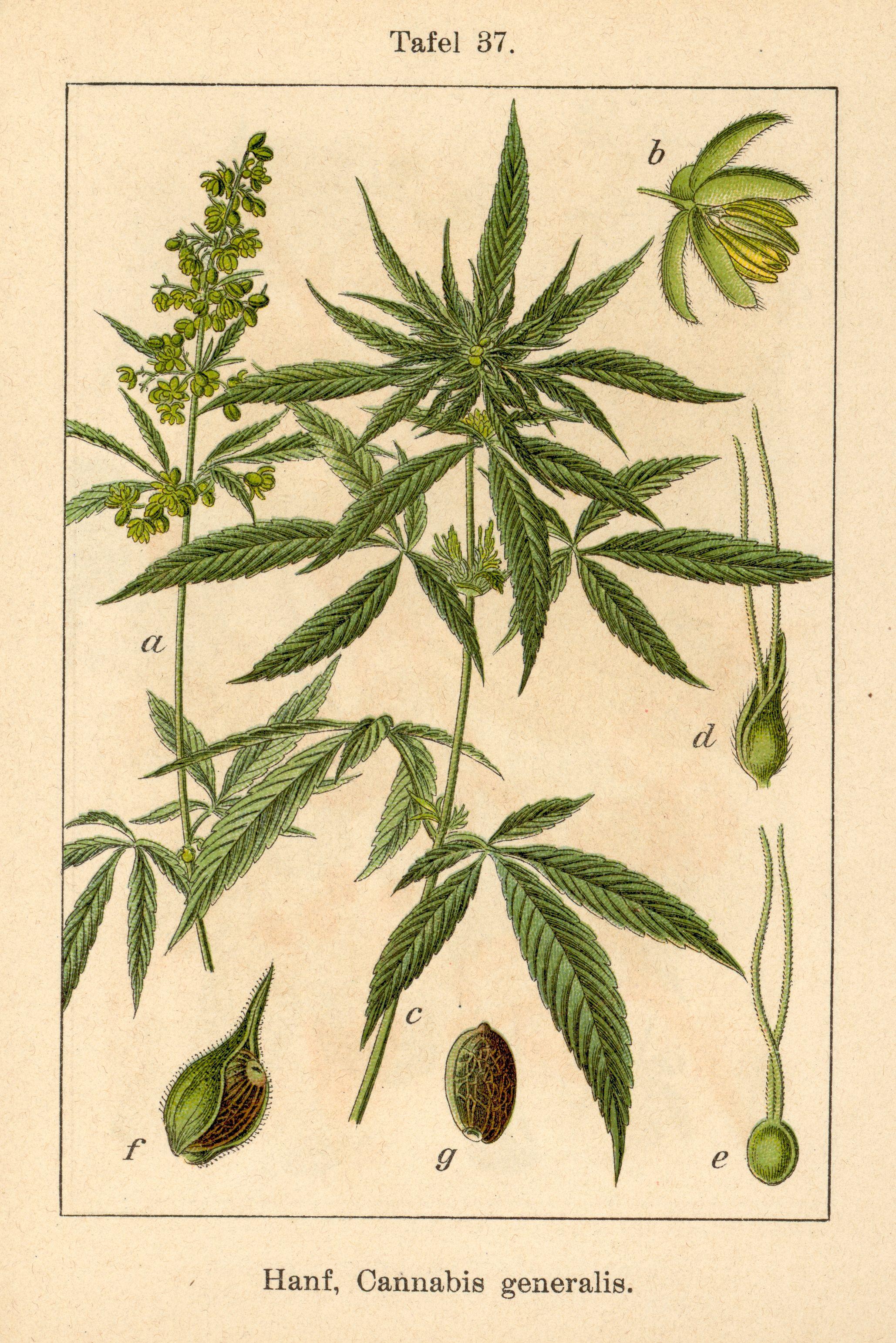 Hanf, Cannabis generalis (Fig. 37 from Deutschlands Flora in ...