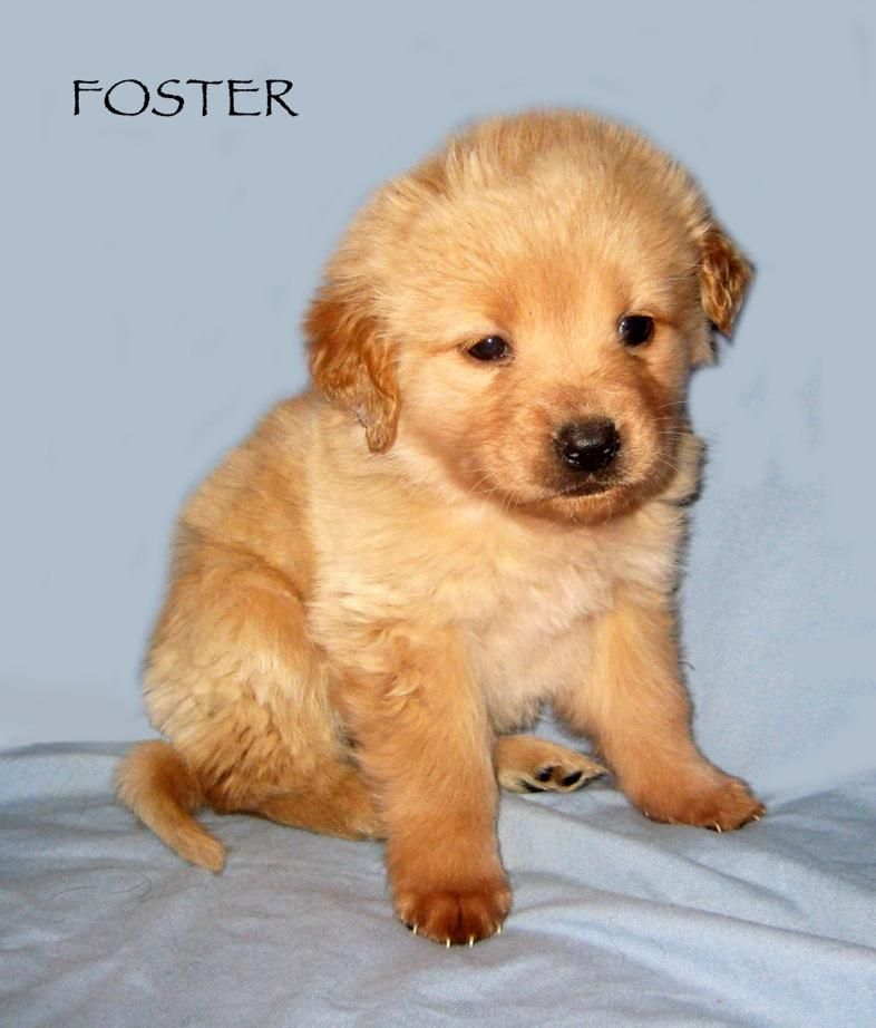 Adopt foster on golden retriever mix the fosters