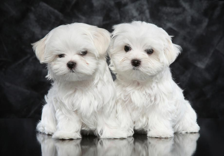Send Me This Maltese Please Teacup Puppies Maltese Maltese