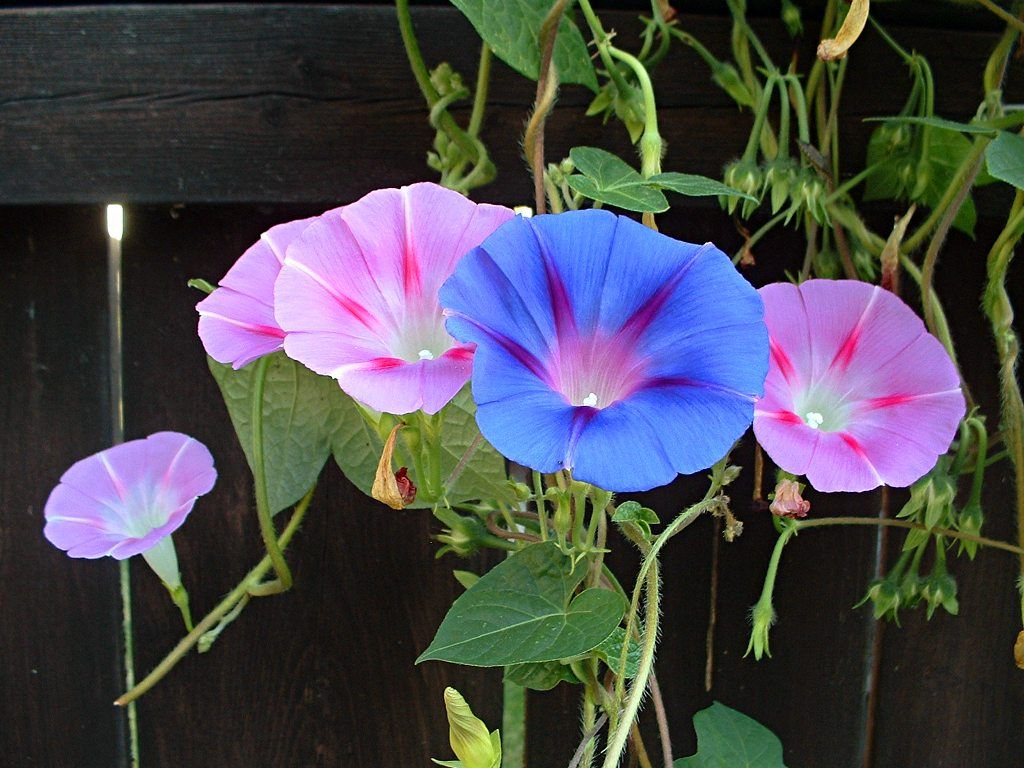 Ipomoea Morning Glory Morning Glory Flowers Morning Glory Garden Vines