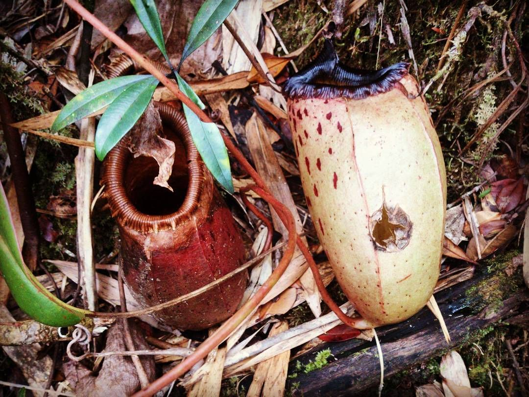 pitcher plants along the trail of mt guiting guiting.... #mtguitingguiting #thephilippines #the_ph #pitcherplant #trail #trekking #hiking #naturelovers #nature #plants by arnieuo