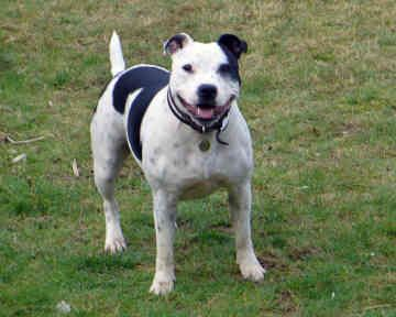 Irish Staffordshire Bull Terrier Dog Dogs Terriers Cute Sweet Dogs Terrier Dog Breeds