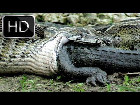 Biggest Snakes In The World Snakebytestv Youtube With Images