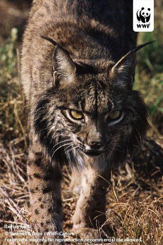 Iberian Lynx Iphone Wallpaper Iberian Lynx Cats Lynx