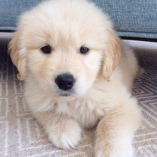 Image Via We Heart It Adorable Dog Goldenretriever Puppy