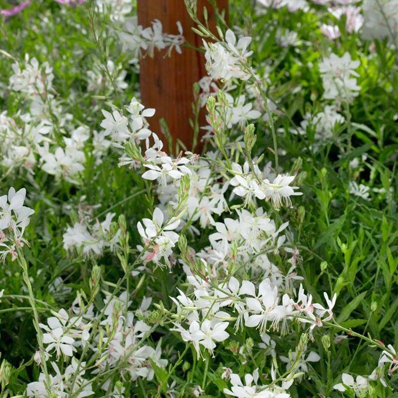 Gaura Lindheimeri Geyser White Prachtkaars Mit Bildern Pflanzen Garten Pflanzen Schatten