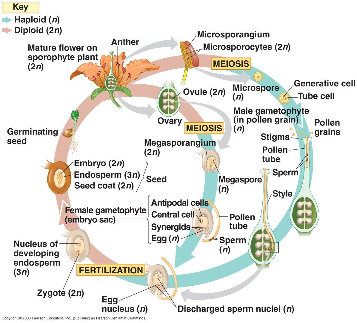 Anatomy of angiosperm