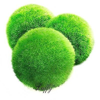 3 Giant Living Marimo Moss Balls (~2 Inches)