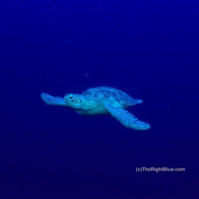 Young Green Sea Turtle (Chelonia mydas) - Hawaii - photo by B N Sullivan for TheRightBlue.com