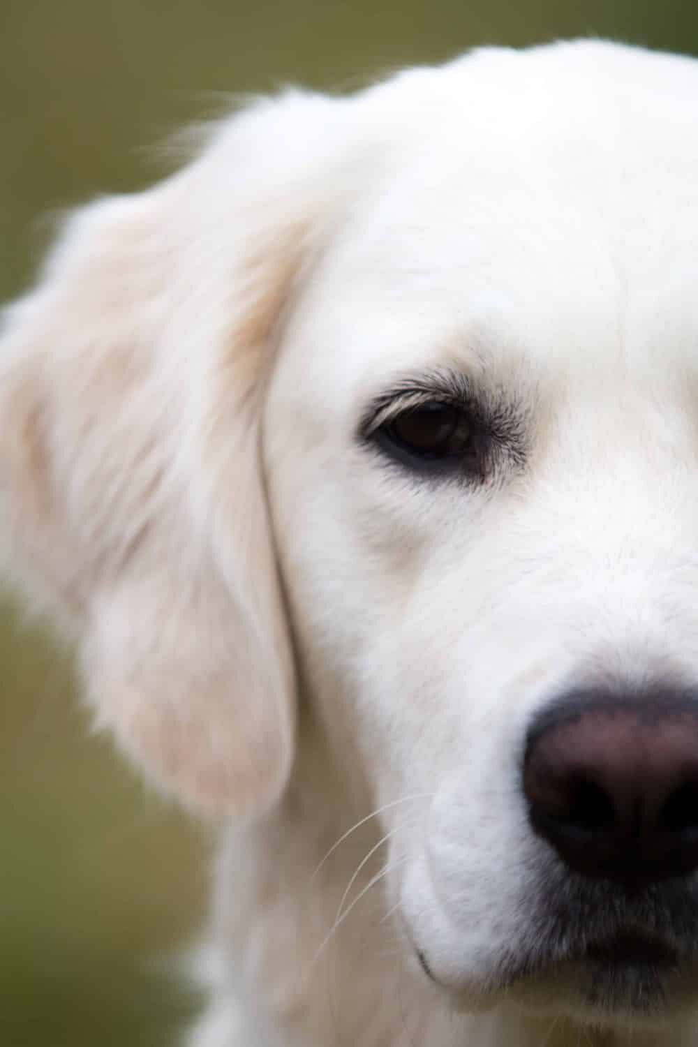5 Signs Your Dog Has An Upset Stomach And How To Cure It Puppy Dog Images Golden Retriever Retriever Puppy