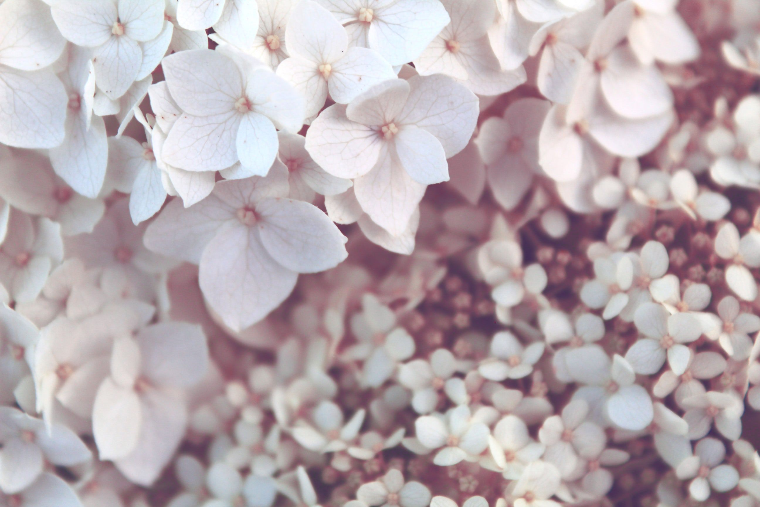 A Close Up Of A Dense Cluster Of White Hydrangea Flowers White Art