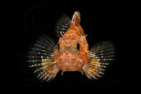 Scorpionfish-Face-blog.jpg (457×305)