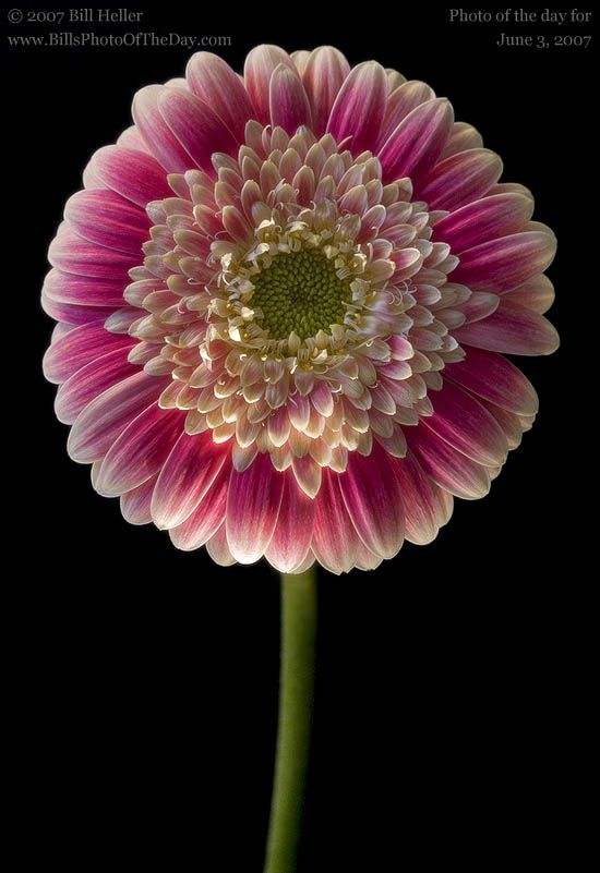 Pink And White Variegated Gerbera Daisy Gerbera Jamesonii Beautiful Flowers Pictures Flower Clubs Gerbera Daisy