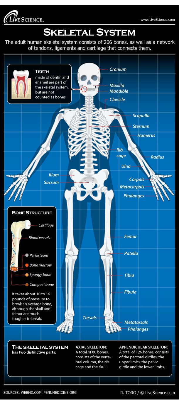 Skeletal System Facts Function Diseases Our Amazzzing Body