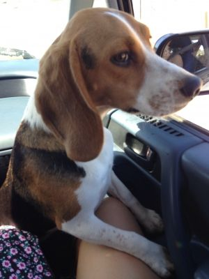 Found Beagle In El Cajon Ca Us 92020id 424228 Female Brown