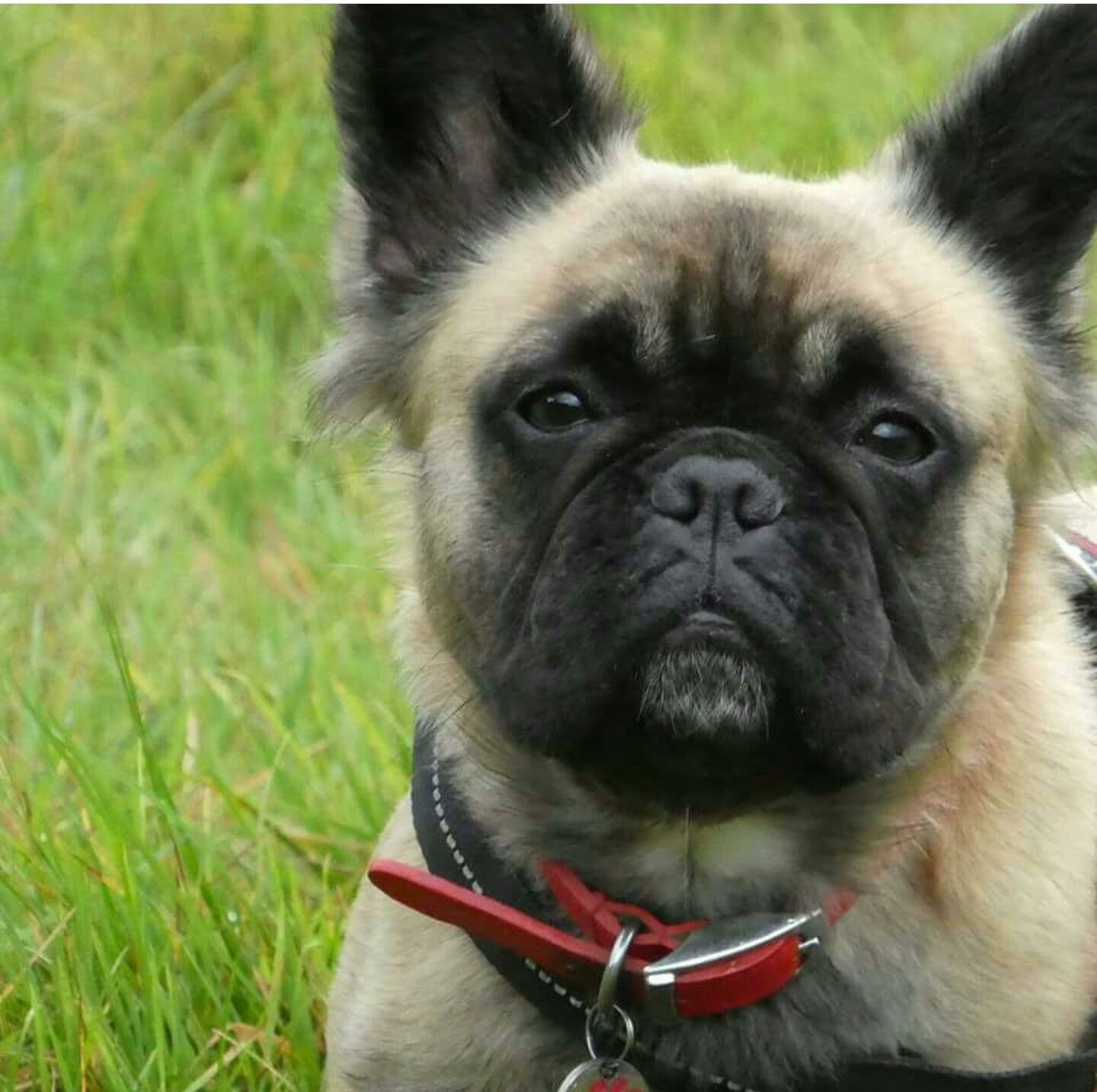 long haired french bulldog | french dogs, french bulldog puppies