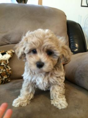 Adorable Malti Poo Puppy Maltese X Toy Poodle Puppies Toy