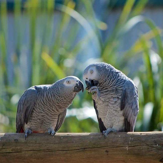 Instagram Photo By رابطة م لاك الكاسكو Jun 1 2016 At 7 57am Utc African Grey Parrot African Grey Animals