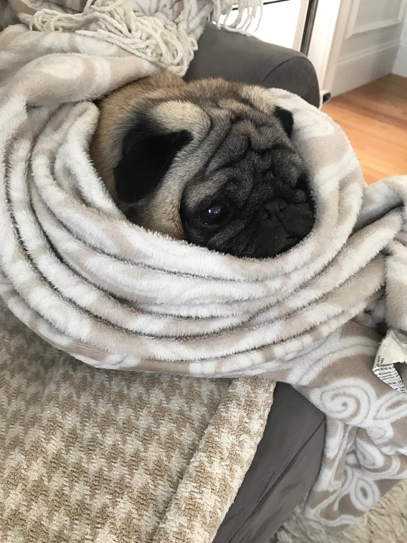 Pug Treats Cute Cuteanimals Puglife Dentalsticks Pug
