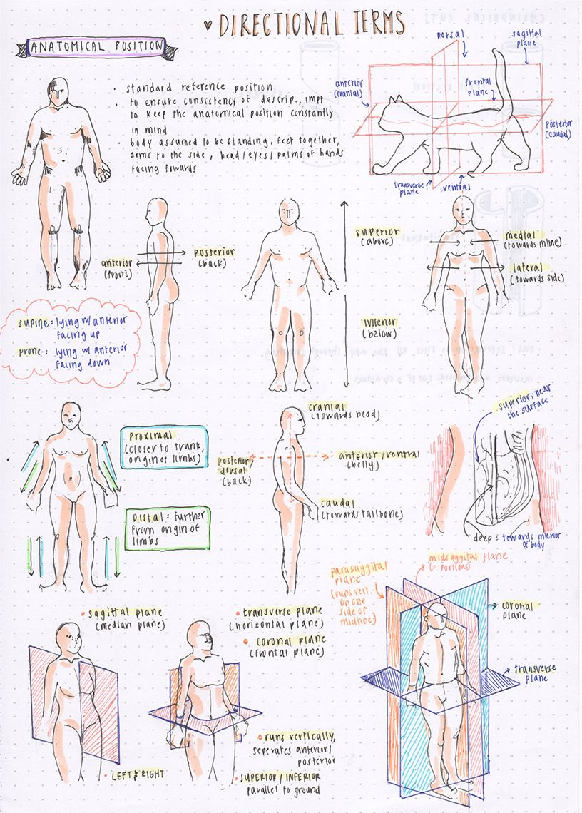 090416 Some Directional Terms For Anatomy L These Terms Are