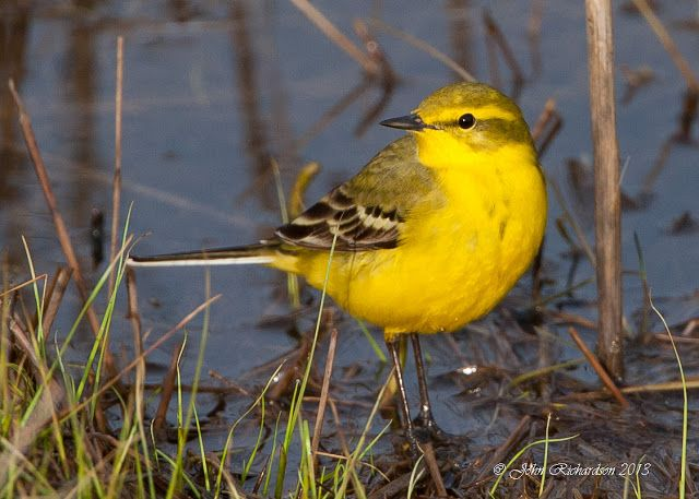yellow wagtail british birds yellow wagtail bird. Black Bedroom Furniture Sets. Home Design Ideas