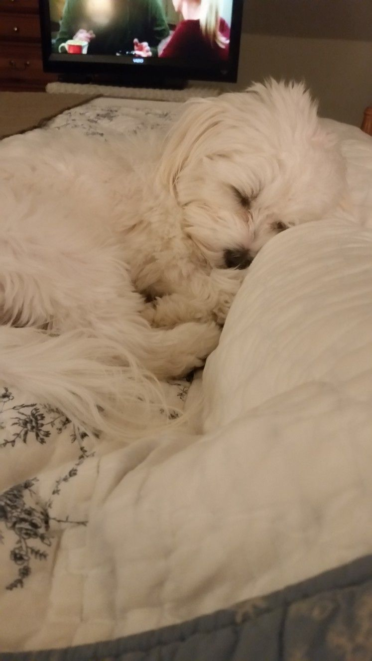 Sweet Maltese Sleeping Maltese Smallpuppiesphotos Maltese