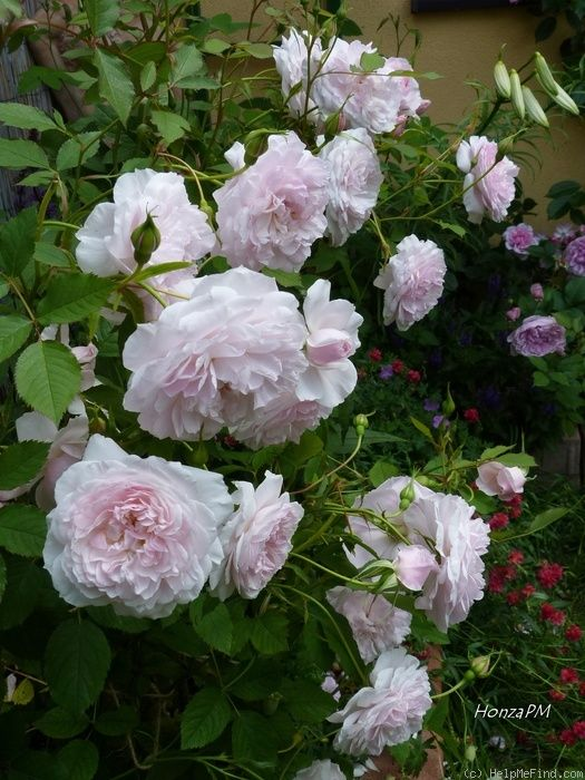 Beautiful Hyde Hall Rose