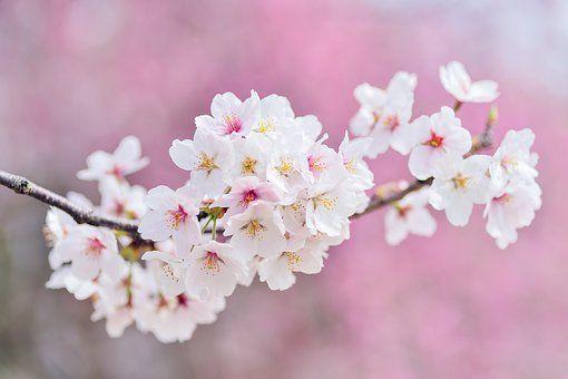Japan Landscape Spring Plant Cherry Blossom Festival Blossom Trees Cherry Blossom Tree