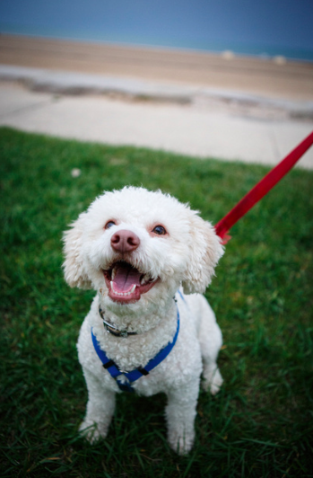 #chicagopetphotography #chicagopetportrait #poodlemix #michellelytlephotography #cutepuppy #chicagopet #petportrait #dogsmile #happydog