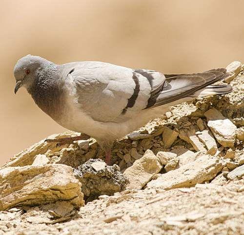 Birds Of India Hill Pigeon Birds Pigeon Animals