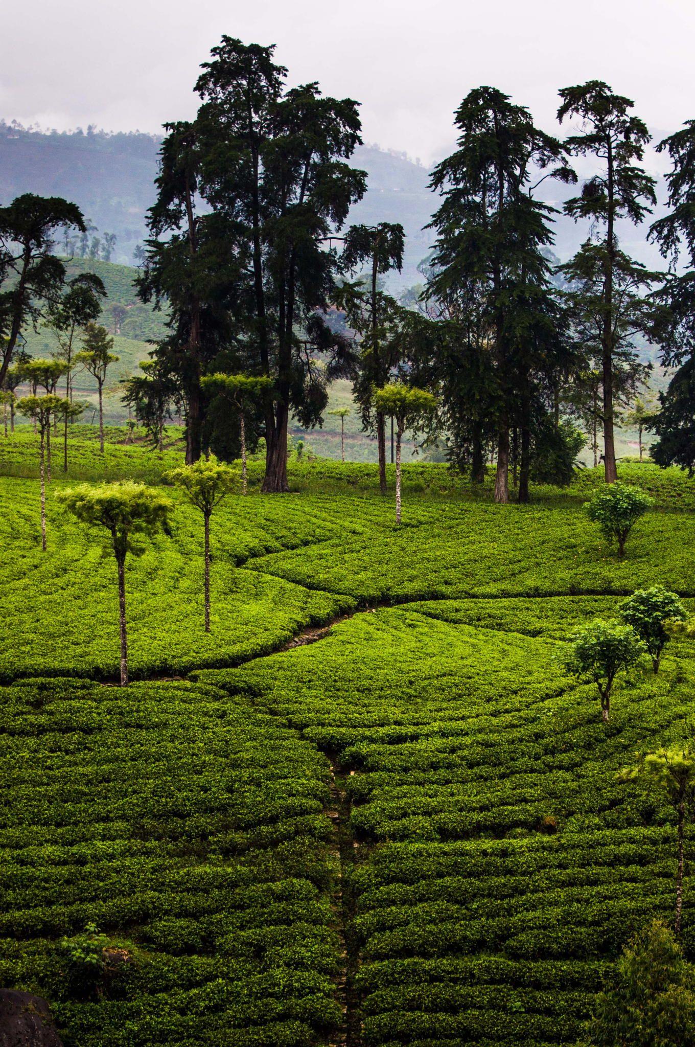 VisitSriLanka Sri Lanka Tea patterns by L O L A M E D I