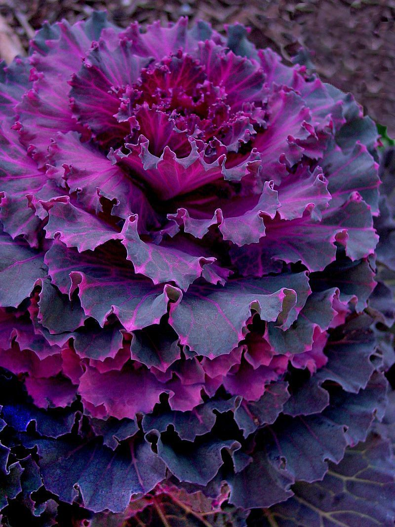 Purple Ornamental Cabbage Cabbage Flowers Ornamental Cabbage Ornamental Kale
