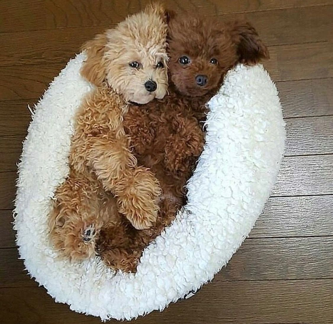 Precious pair of puppies. One dark, one light. Like my puppy Rolo and my boyfriend Adam's who is his brother #toysfordogs