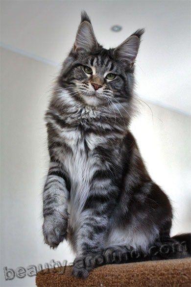 Pin On Cat Breeds I Like