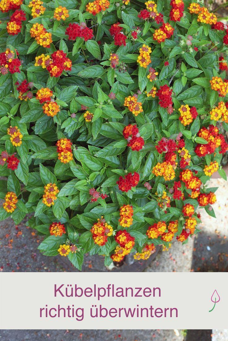 Kubelpflanzen Richtig Uberwintern Pflanzen Kubelpflanzen Garten Pflanzen
