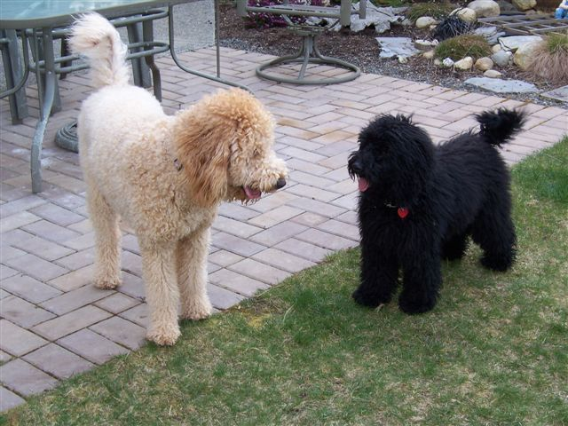 F1b Goldendoodles Doodlelane You Can Really See The Size