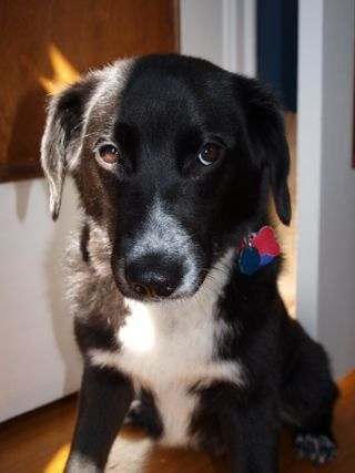 Black Lab Border Collie Mix Google Search With Images Collie